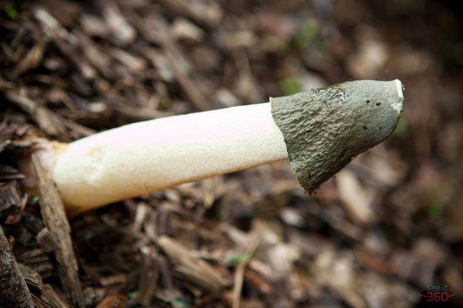 Stinkhorn Mushroom 3