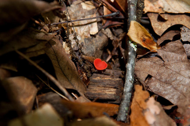 Little Red Mushroom