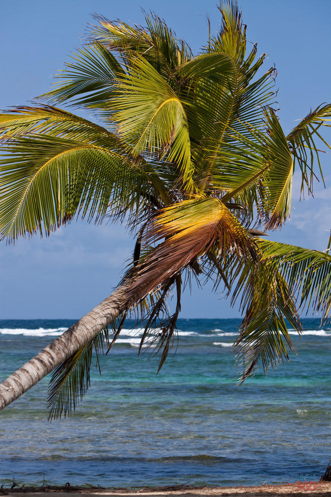 Palm Tree - San Blas, Panama