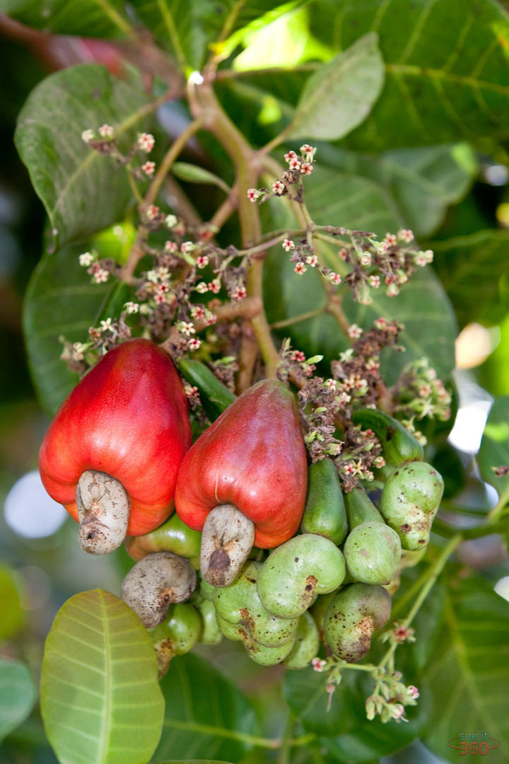 cashew fruit, Beautiful flower