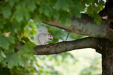 White Squirrel of Brevard